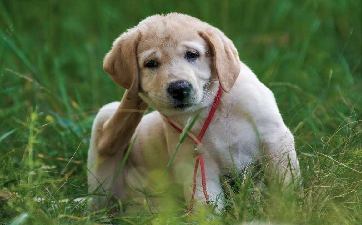 Vlooien Bij Hond